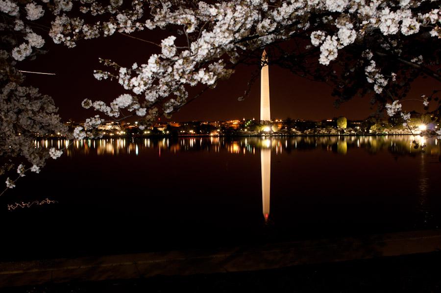 Cherry Blossoms Avilez